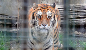 Tigri Pinerolo